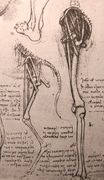 Leonardo da Vinci - Drawing of the comparative anatomy of the legs of a man and a dog 1500