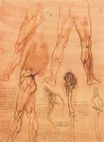 Leonardo da Vinci - Studies of legs of man and the leg of a horse 1506